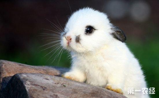 荷兰侏儒兔多少钱?荷兰侏儒兔的价格