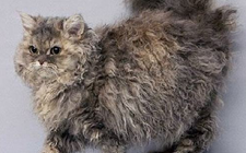 电烫卷猫多少钱一只?电烫卷猫的价格