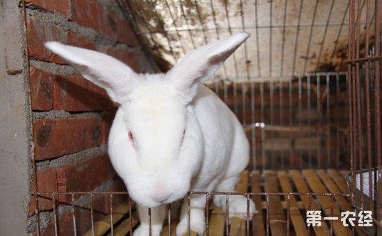 獭兔染上疾病怎么办?獭兔常见疾病的防治方法介绍