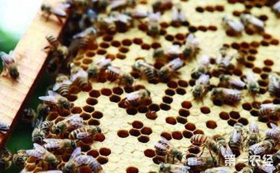 蜜蜂出现盜蜂怎么办?蜜蜂盜蜂的预防措施和处理方法