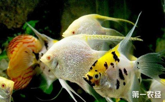 观赏鱼寄生虫类疾病怎么治 观赏鱼寄生虫类疾病的病症与防治
