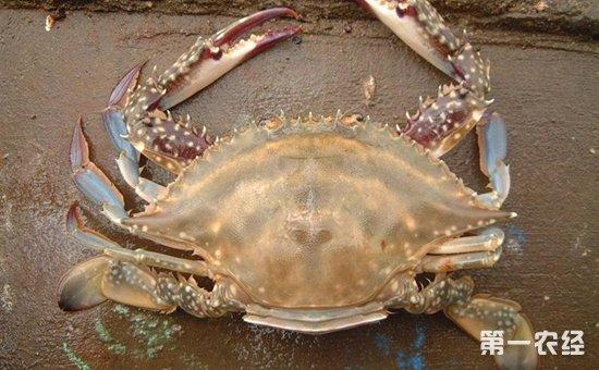 锯缘青蟹怎么养?锯缘青蟹的蟹池建造与苗种放养技术