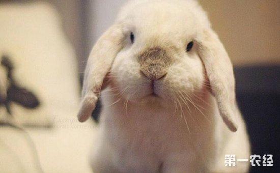 垂耳兔怎么养才好?垂耳兔的生长习性与养殖要点