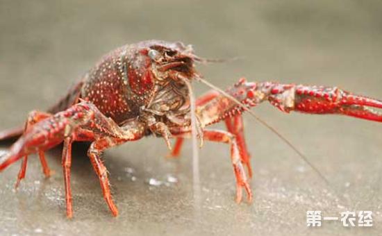淡水小龙虾养殖怎么管理水质?小龙虾养殖的日常水质管理