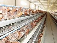 鸡蛋价格趋于稳定 分析师:春节前没有足够上涨空间