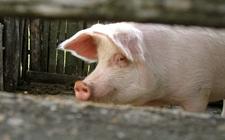 外来腌肉型猪种——兰德瑞斯猪
