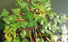 菱角怎么种植?菱角高效种植技术