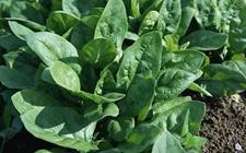 越冬菠菜怎样种植?越冬菠菜种植技术