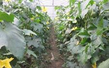 大棚中要怎样种植丝瓜?大棚丝瓜种植技术