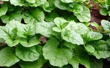 木耳菜怎么种好?木耳菜种植技术介绍