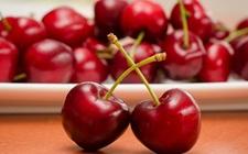 樱桃流胶病如何防治?樱桃流胶病的症状及防治方法