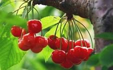 樱桃根癌病有什么症状?樱桃根癌病该如何防治?