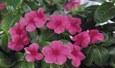 长春花有毒吗?长春花能放在室内养殖吗?