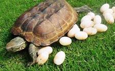 乌龟会下蛋?乌龟蛋可不可以吃?