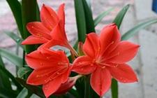 6种常见年宵花的养护方法介绍!红红火火为家里添喜气