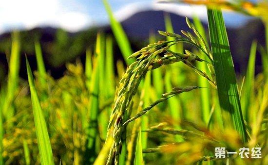 """我国科研人员重新""""组装""""改良水稻品种  破解水稻""""好吃不高产""""难题"""