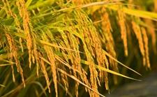 "<b>我国科研人员重新""组装""改良水稻品种 破解水稻""好吃不高产""难题</b>"