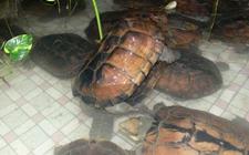 石金钱龟疾病怎么防治?石金钱龟常见疾病的防治方法