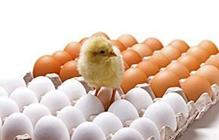 蛋鸡产能可能在2018年年中恢复