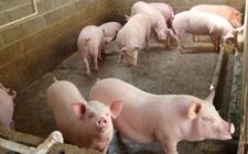 猪咳嗽喘气怎么办?猪咳嗽喘气的防治措施