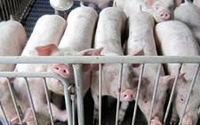 <b>怎样诊断生猪泛酸性缺乏症?如何治疗生猪泛酸性缺乏症?</b>