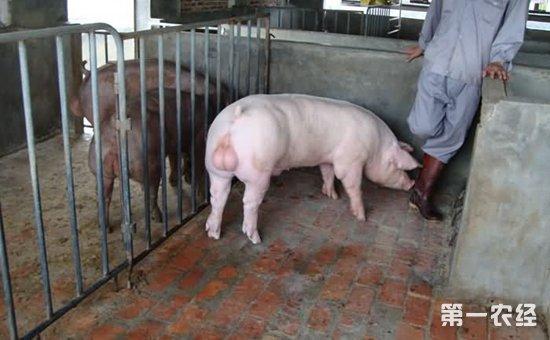 0千克~5.0千克.根据母猪的体况及带子的头数,适当增减饲料至断奶.