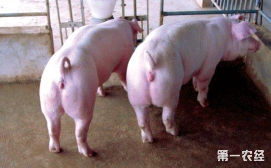 怎样科学饲喂长白猪?