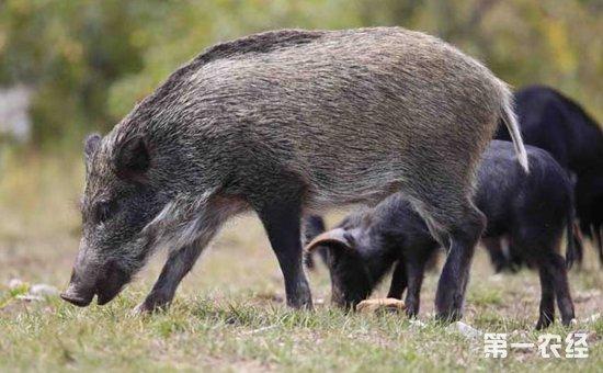 怎样科学饲养山猪?山猪饲养管理的要点