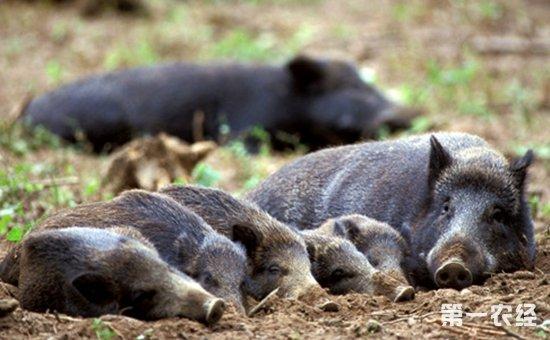 野猪养殖的市场前景如何?