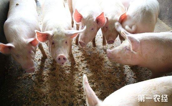 养猪户怎样做好淮猪日常饲养管理?