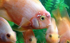 <b>鹦鹉鱼染上疾病怎么办?鹦鹉鱼常见疾病的病症与防治</b>