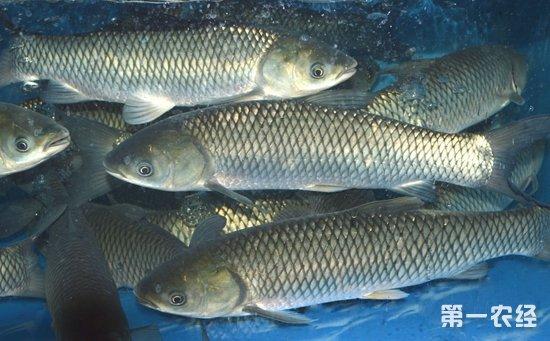 草鱼怎么养?草鱼的高效养殖技术