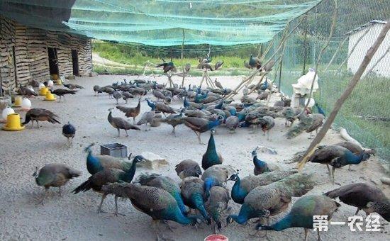 孔雀苗多少钱一只?孔雀的养殖方法与四季管理
