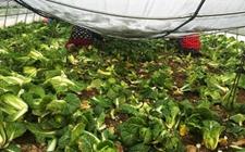 蔡甸:丰村娃娃菜丰收却无人问津 140万斤娃娃菜遇滞销难题