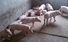怎样科学诊断仔猪副伤寒?如何预防仔猪副伤寒猪病?