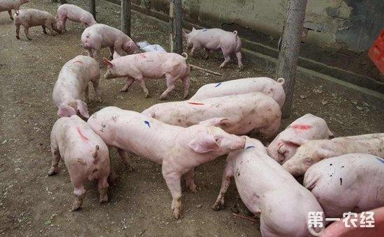 仔猪副伤寒的症状有哪些?流行情况是什么?