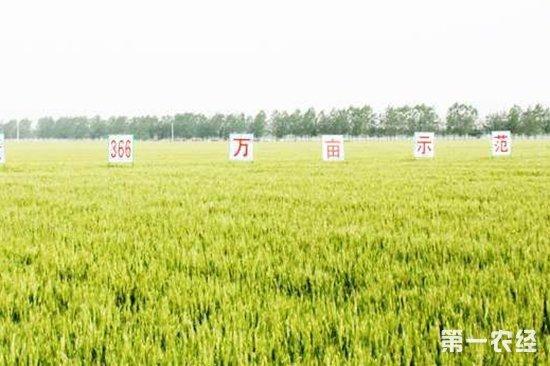 河南省扩大小麦种植面积 优质专用小麦已达840万亩