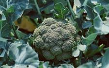 西兰花的品种有哪些?种植西兰花需要什么条件?