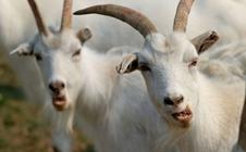 <b>羊蝇蛆病该如何防治?秋季羊蝇蛆病的防治方法</b>