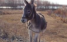 驴为什么会得胃肠炎?驴胃肠炎的防治方法