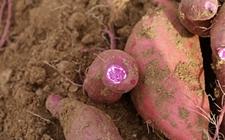 紫薯种植如何实现高产?紫薯的高产栽培技术要点