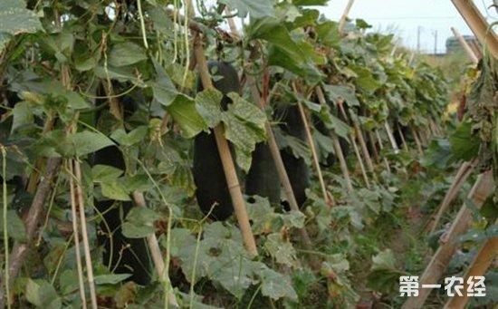 黑皮冬瓜怎么种植?黑皮冬瓜的高产种植技术
