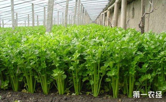 西芹因植株高大粗壮,生长期较长,需肥量多,充足的肥水供应是优质高产的保证。定植后用沟中水浇苗,以后做到小水勤浇,成活后要适当控制浇水,以促进新根叶生长。随着苗情长旺,要逐渐加大浇水量,并经常保持沟内有水,增加田间湿度,创造凉爽气候。移栽10d后可用二齿锄耙进行首次浅中耕,以后逐渐深中耕3-4次,中耕即可除草,又能使畦土处于上干下湿透气状态,促进根系深长。定植15d后即可开始追肥,以每50kg水加尿素0.