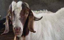 羊痘病怎么防治?羊痘病的治疗方法