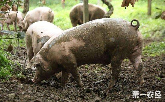"""退休教授化身""""女猪倌""""   秉持生态理念环保养猪"""