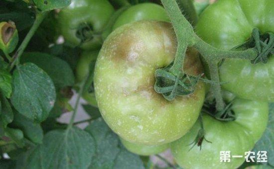 番茄晚疫病怎么治?番茄晚疫病的防治方法