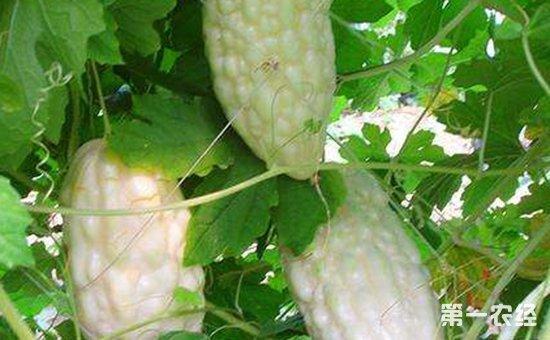 白玉苦瓜怎么种植?白玉苦瓜的种植技术