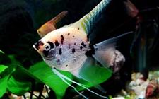 <b>神仙鱼染上疾病怎么办?神仙鱼常见疾病的防治技术</b>