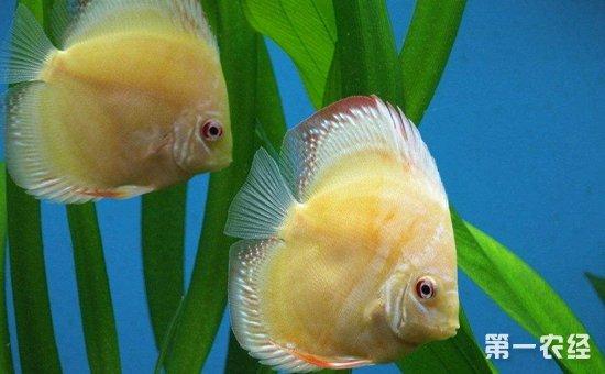 七彩神仙鱼怎么养?七彩神仙鱼的饵料投喂和养殖管理