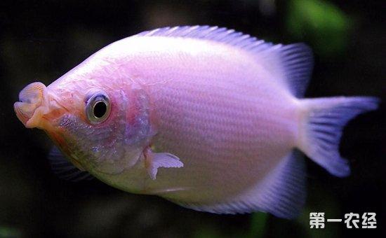 神仙鱼和什么鱼混养好?7种适合与神仙鱼混养的鱼类介绍!